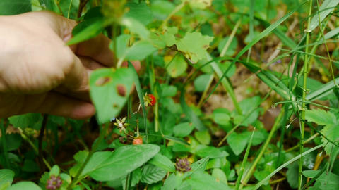 Woman hand picked wild strawberries in the forest 22b Footage