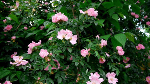Vertical panorama of a wild rose bushes bloom 89 Footage