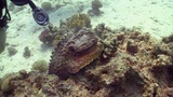 Stonefish on Coral Reef, Red sea Footage