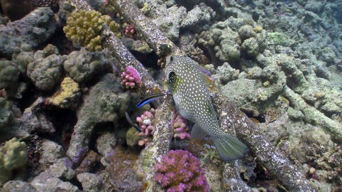 Starry puffer on Coral Reef, Red sea Stock Video Footage