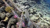 Starry puffer on Coral Reef, Red sea Footage