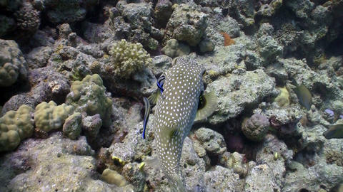 Starry puffer on Coral Reef, Red sea Live Action