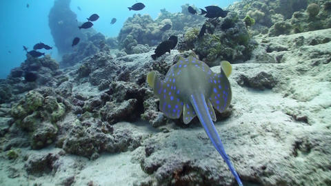 Blue Spotted stingray swims on the coral reef, Red sea Stock Video Footage