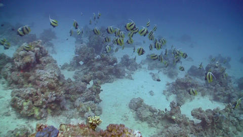 Bannerfish on Coral Reef, Red sea Stock Video Footage