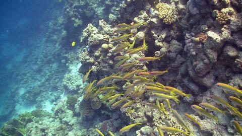 Shoal of Yellow Fish on Coral Reef, Red sea Stock Video Footage