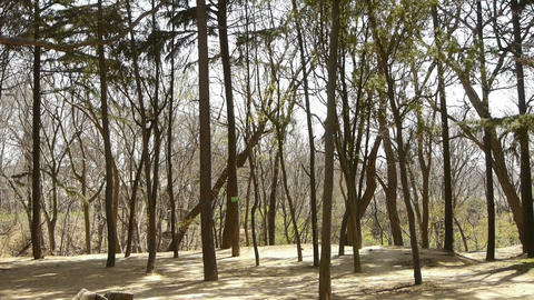 Exercise in pine forest.Thick trunk.leisure,oriental,sport,people Footage