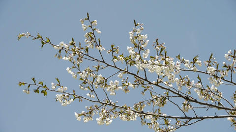 beautiful cherry blossoms tremble in wind Stock Video Footage
