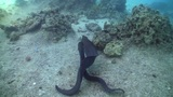 Morays on Coral Reef, Red sea Footage