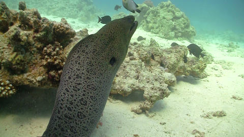Murena on Coral Reef, Red sea Stock Video Footage