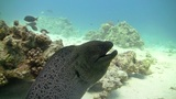 Murena on Coral Reef, Red sea Footage