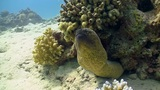Murena on Coral Reef, Red sea Footage