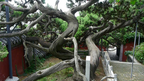 stout rough cypress tree trunks & Chinese ancient... Stock Video Footage