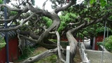 stout rough cypress tree trunks & Chinese ancient building,breeze blowing le Footage