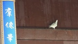 White doves under eaves.& Chinese ancient building,carved-beams & painti Footage