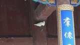 White doves bird under eaves.& Chinese ancient building,carved-beams & p Footage