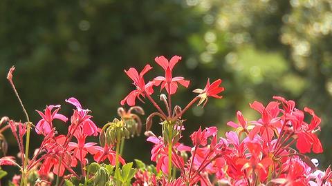 flowers su Stock Video Footage