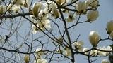 Beautiful Magnolia Bloom In Sunshine stock footage