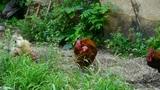 grass farm chicken cock Footage