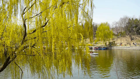Dense willows by sparkling lake,Tourists cruise ships on... Stock Video Footage