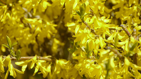 Winter jasmine in the sunshine Stock Video Footage