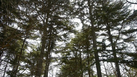 Pine trees crown sway in... Stock Video Footage