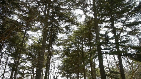 Pine trees crown sway in... Stock Video Footage