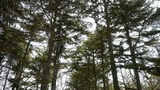 Pine trees crown sway in wind,metasequoia,Jungle,forest.exercise,leisure,orienta Footage