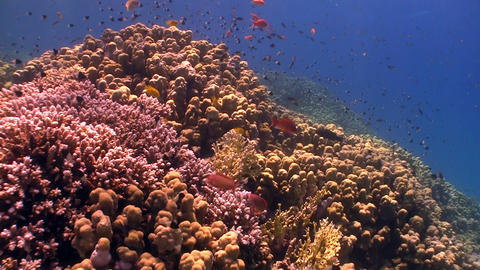 Colorful Fish on Coral Reef, Red sea Stock Video Footage
