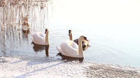 Swimming Swans 3 Footage