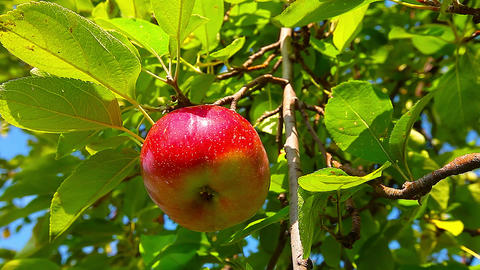 red apple hanging on a tree. 4K. FULL HD, 4096x2304 Footage