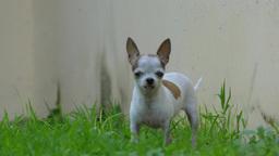 Short Hair Chihuahua Dog At Green Grass stock footage