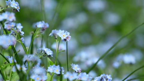 "Traveling through blue flowers ""forget me not"" 9555 Footage"