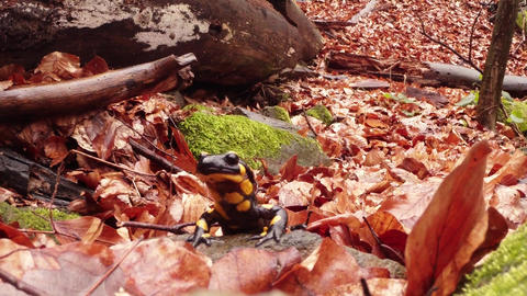 Salamander crawling on the leaves brown rot early spring in the mountain forests Footage