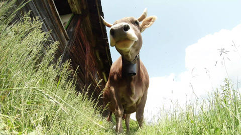 horned cow beige, bright sunshine view from below near the wooden wall Footage