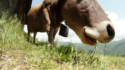 Head of the cow with a bell around his neck, flying insects, chewing muzzle clos Footage