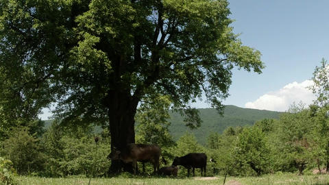 A Few Cows Hide In The Shade Of A Tree From The Hot Sun In The Mountains stock footage