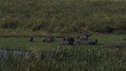 Hippopotamus (Hippopotamus amphibius) group grazing Footage