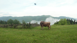 beige cow with a bell repels flies on a green lawn and behind the mountain and t Footage