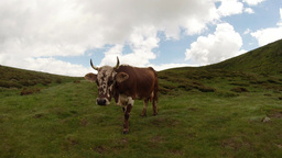 red-spotted white horned cow on a beautiful mountain slope in the clouds Footage