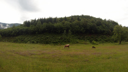 young calves on a green meadow on a background of a hill with trees Footage