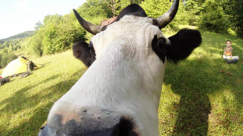 Horned black and white cow muzzle climb into the camera then jumps on the green  Footage