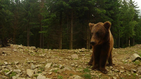wild bear paw funny shows on a background of pine forest Footage
