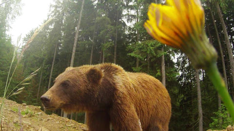 brown bear in cloudy weather on the rocky edge of a pine forest and mountain yel Live Action