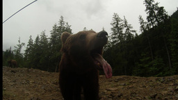 brown bear in cloudy weather on the rocky edge of a pine forest of the mountain  Live Action