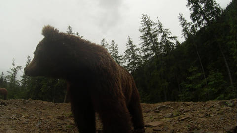 brown bear in cloudy weather on the rocky edge of a pine forest mountain looks a Live Action