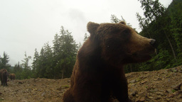 brown bear opens mouth before the camera a little rain on a background of forest Live Action