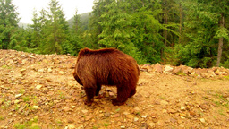 brown bear on a walk looking for something in the stones on a dirt mound in a fo Footage