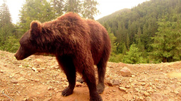 brown bear stands in front of the camera on a dirt mound in a forest under a sma Footage