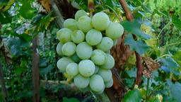White grapes in the garden Footage