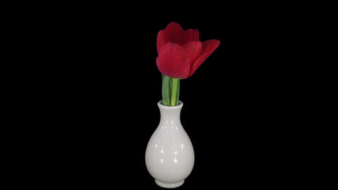 Time-lapse of opening red tulip in a vase in RGB + ALPHA matte format Live Action